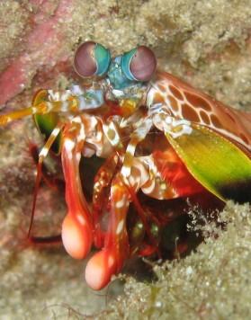 1mantis-shrimp